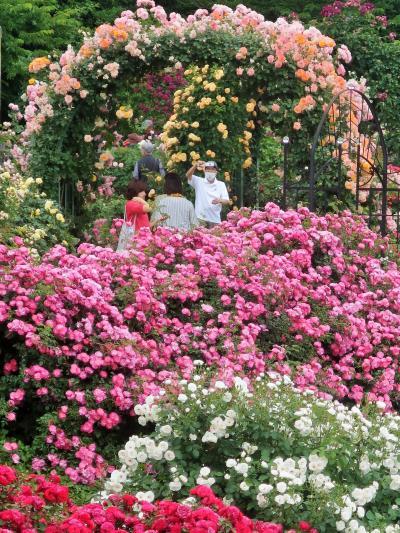 京成バラ園-8 ROSE-FESTIVAL @Rose-Garden ☆八千代緑が丘駅-歩いて18分