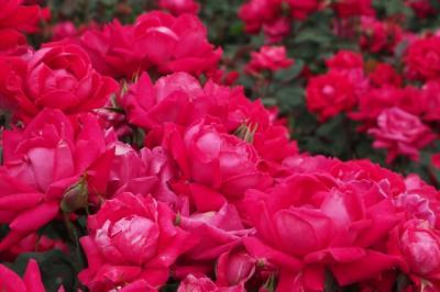 曇りの日こそ薔薇を愛でに~喫茶ラック・浜寺公園・喫茶篝編~