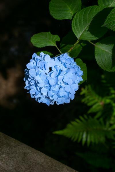 2019 鎌倉・明月院の紫陽花