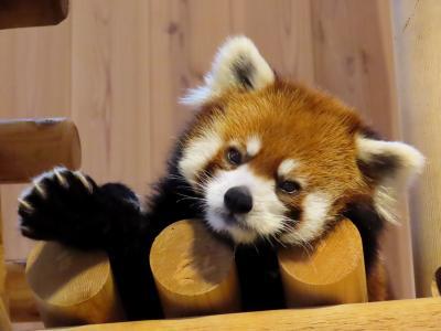 西山動物園  がんばれっ、ミンファちゃん!! 逆境に立たされた強く美しいパンダに会いに鯖江へ