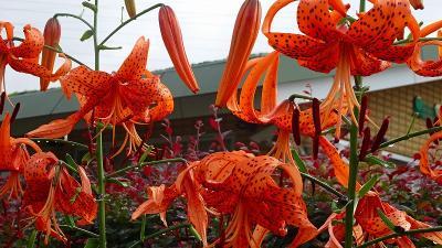 昆陽南公園に咲く花達 その2。