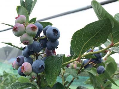 埼玉・鴻巣のブルーベリー摘み取り園2019~大きく熟した粒のブルーベリー狩り~