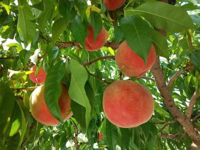 2019.7.28 こだわりの桃農園で桃狩り&食べ放題付きミステリーツアー