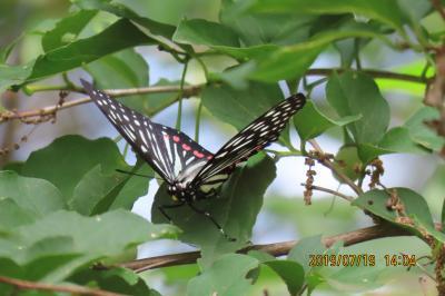 森のさんぽ道でみられた蝶(28)アカボシゴマダラ、テングチョウ、イチモンジチョウ等