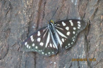 森のさんぽ道でみられた蝶(33)ゴマダラチョウ、ムラサキシジミ、アカボシゴマダラその他等