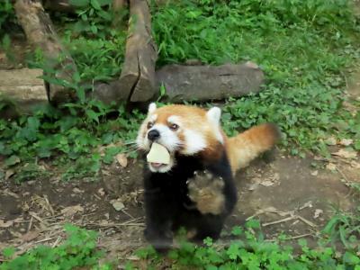 池田動物園 アドベンから突如姿を消してから約1カ月・・・新天地・池田で展示訓練を頑張るココロ君に会う事ができました!!