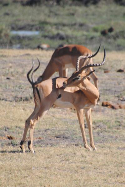 アフリカ南部へ。⑨ボツワナ共和国チョベ国立公園でドライブサファリ! その1