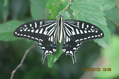 森のさんぽ道で見られた蝶(29)アゲハチョウ、ツバメシジミ、テングチョウ、アカボシゴマダラその他等