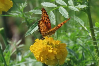 森のさんぽ道で見られた蝶(31)ツマグロヒョウモン、ルリタテハ、アカボシゴマダラ、ベニシジミその他