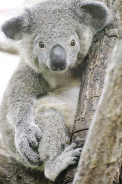 森林公園とハシゴした埼玉こども動物自然公園~ニホンカモシカの赤ちゃんと女子コアラ大部屋に戻ったビリーくんとリリーちゃんに会いたくて