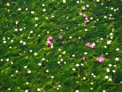 梅花藻を見に醒ヶ井宿へ行きました