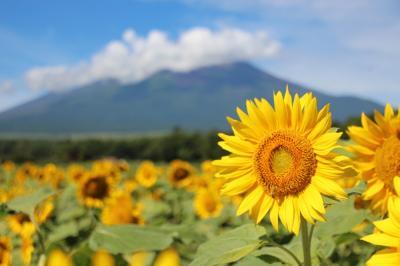 花の都公園のひまわりとジニア(百日草)