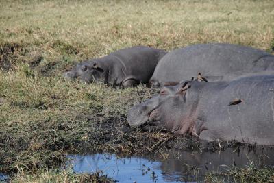 アフリカ南部へ。⑫ボツワナ共和国チョベ国立公園でボートクルーズ! その1