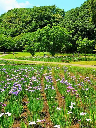 佐倉城址公園-3 菖蒲まつり 城下町の伝統に ☆ハナショウブ-品種多彩多様で