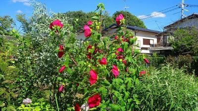 ゴンママを伊丹空港へ送った後、西武庫公園の花壇へ花の撮影に行きました(6)