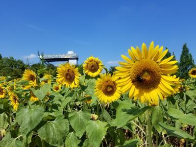 暑い暑い日のひまわり「花フェスタ記念公園」