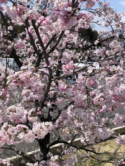 清須城の桜