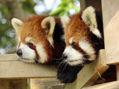 八木山動物公園  大きくなったねユズ君&ナツメちゃん!! お籠り明けのスモモちゃんに会えなかったのが残念でした