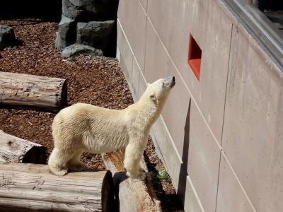 男鹿水族館GAO レサパン無しのホッキョクグマ紀行 新天地で元気そうなユキちゃんに会えて嬉しいです