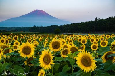 山中湖ロッジ滞在記8月編 その2 赤富士と花の都公園のひまわり