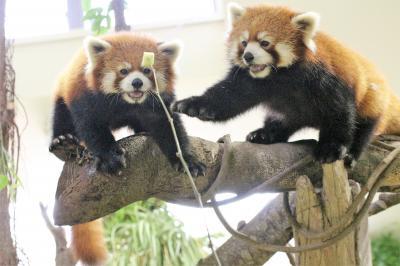 那須どうぶつ王国で猛暑を少しでも涼しく(2)新「アジアの森」のレッサーパンダ・ビントロング・コツメカワウソ・マヌルネコ~栄作・与作とマヌっ子