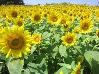夏だっ! 清瀬ひまわりフェスティバルで一面のひまわり=10万本のひまわりに囲まれて(^^)vというより、むしろ(;^_^A=