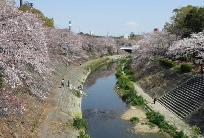 2019春、山崎川の桜探訪(1):4月4日(1):瑞穂運動場、山崎川四季の道、染井吉野、紅八重紅垂桜、ムクドリ