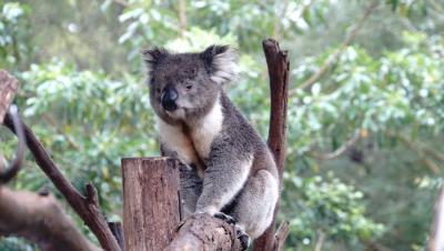 冬のメルボルン旅① オーストラリア固有種の動物たち&オーストラリア牛!