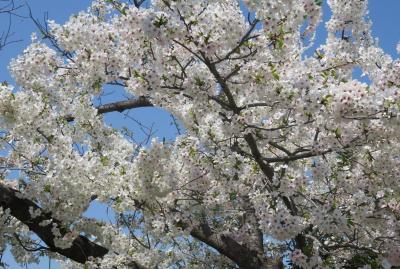 2019春、山崎川の桜探訪(2):4月4日(2):染井吉野、菜の花、紫木蓮、萩山橋、『山崎川四季の道』石碑