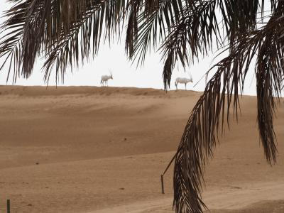 タイ&ドバイ&アブダビ2019夏_5<一日砂漠。野生保護区で動物観察・サンドバイク・デザートサファリ・ダンスショー>