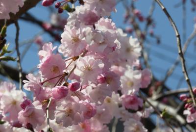 2019春、山崎川の桜探訪(3):4月4日(3):染井吉野、里桜・関山、野鯉、コガモ、セグロセキレイ