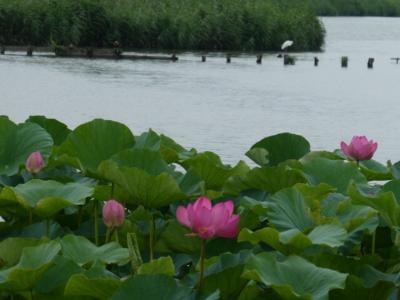 縁結び風鈴と蓮の花、閉園間際の屋上遊園地を訪ねて川越へ2019①~伊佐沼の蓮~