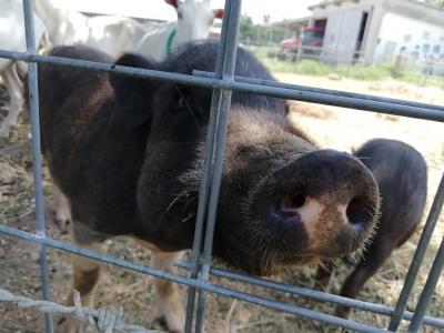 黒島ブタ牧場♪うちーのブタには、ヒゲがあるが、虫歯は無かった。たぶん♪眉毛を見れば元総理♪鼻息荒い♪2019年7月八重山・黒島8泊9日82