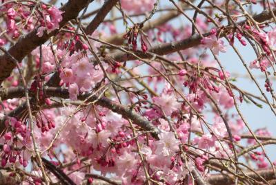 2019春、鶴舞公園から名古屋城への桜探訪(3):4月7日(3):染井吉野、紅八重枝垂、雪洞、雀、雉鳩