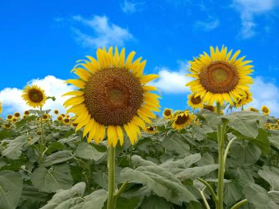 池袋から30分の太陽のお花畑☆清瀬ひまわりフェスティバル2019