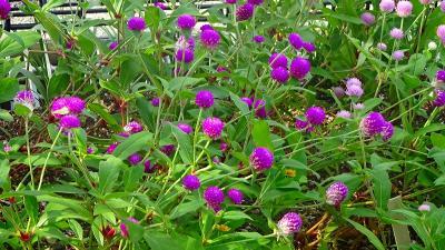 笹原公園・・・防災公園として整備された公園に咲く花 その1。