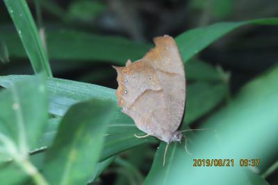 森のさんぽ道で見られた蝶(40)クロコノマチョウ、キマダラセセリ、イチモンジセセリ、キアゲハ他