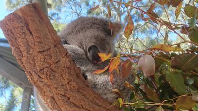 2019年夏休み。シドニー4泊6日の旅。コアラが可愛すぎ