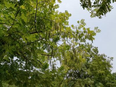 北固山公園前のシナサワグルミ♪尾状の花序を出し、垂れ下がった長い果穂を形成していた♪2019年6月中国 揚州・鎮江7泊8日(個人旅行)58
