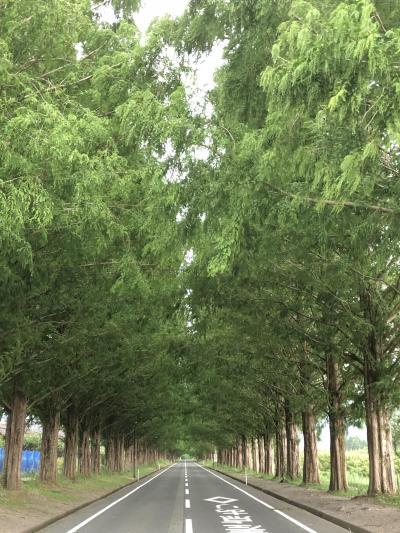 夏のメタセコイア並木道