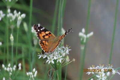 森のさんぽ道で見られた蝶(41)ヒメアカタテハ、クロコノマチョウ、ゴマダラチョウ、ムラサキシジミ他