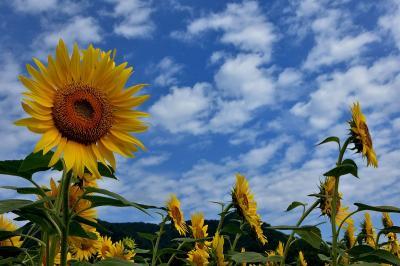 盛夏 向日葵の咲く裏磐梯に