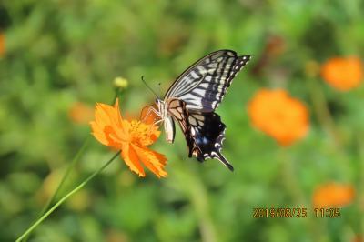 ふじみ野市西鶴ケ岡地区で見られた蝶