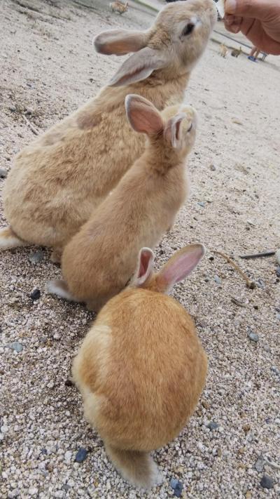 うさぎさんに会いたくて大久野島へ♪② 癒されまくりのウサギ島2日目 観光は伯方の塩工場だけ