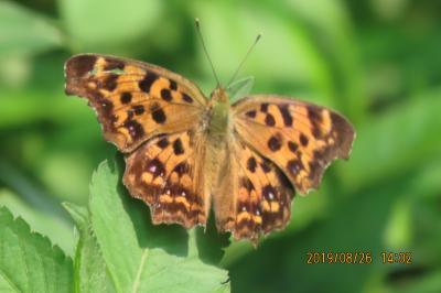 森のさんぽ道で見られた蝶(42)キタテハ、ヒカゲチョウ、クロコノマチョウその他