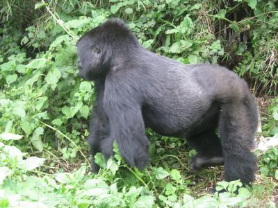 動物を見にルワンダ・タンザニア2 -マウンテンゴリラに会いにトレッキング-