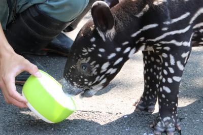 猛暑がぶり返した8月末に東武動物公園再訪(前編)赤ちゃんマレーバクのミルクタイムとお散歩が見たくて、予定を急遽変更
