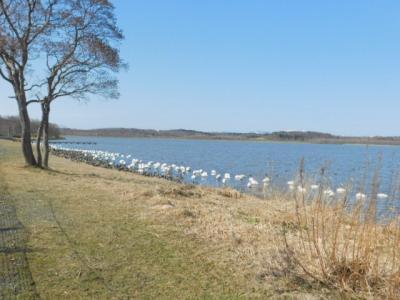 騒々しくなってきたクッチャロ湖畔!