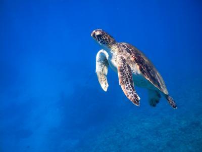 那覇から日帰りシュノーケリング3日目~慶良間でアオウミガメに出会ったぁ