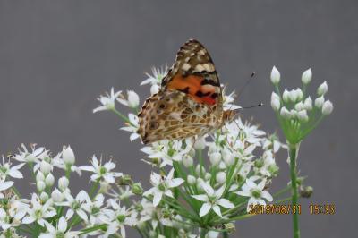 森のさんぽ道で見られた蝶(43)ニラの花に止まっているヒメアカタテハ、ベニシジミその他